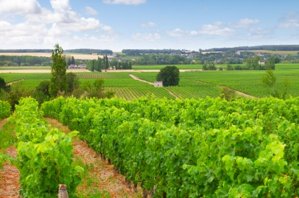 Beautiful vineyard in the Loire Valley, France
