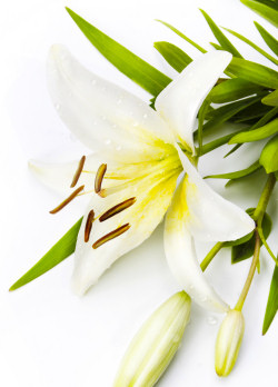 lilies-easter-lily